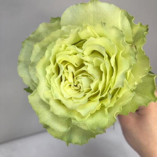 Роза Эквадор Лимонаде