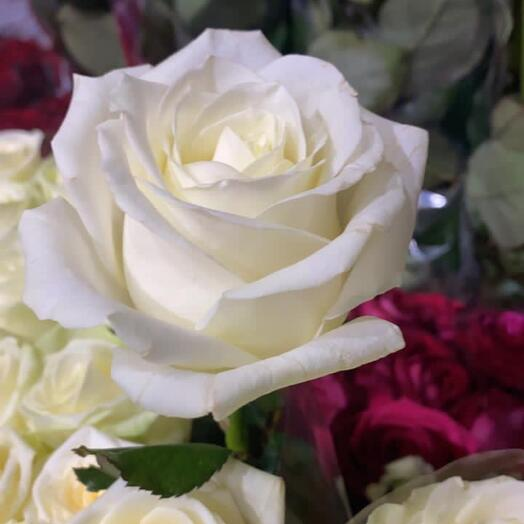 Роза белая 50 см