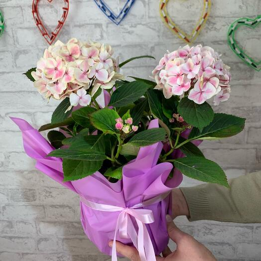 Hydrangea white with pink