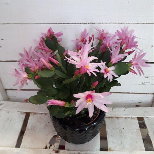 Декабрист : букеты цветов на заказ Flowwow