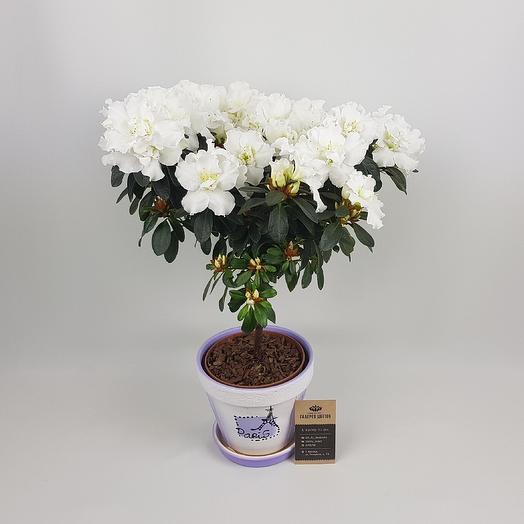Азалия в керамике: букеты цветов на заказ Flowwow