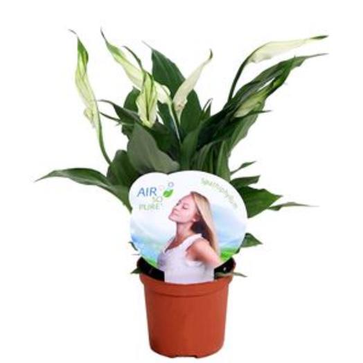 Спатифиллум Перл Купидо 9*30: букеты цветов на заказ Flowwow