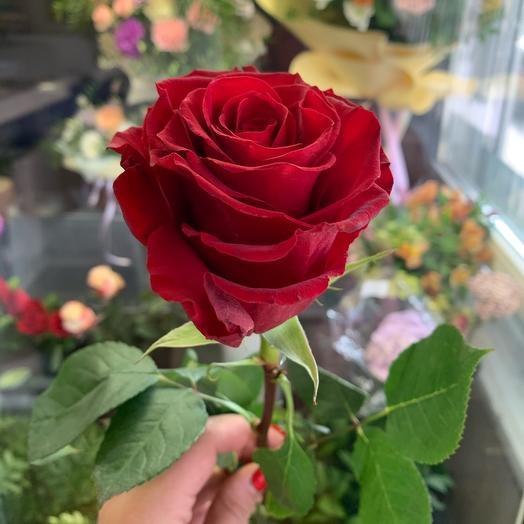 Роза «спящая красавица»