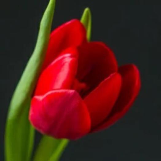 Красный ️ тюльпан