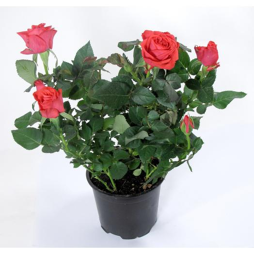 Роза Патио