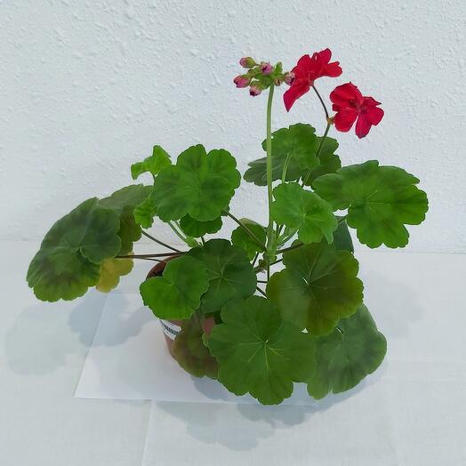 Комнатное растение Пеларгония