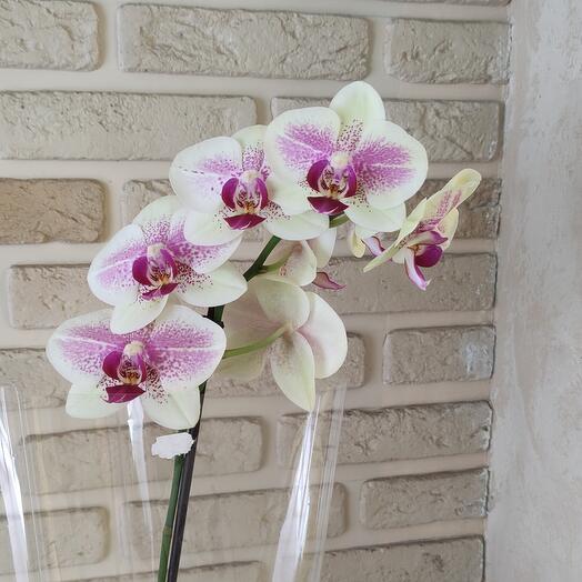 Орхидея бело-розовая