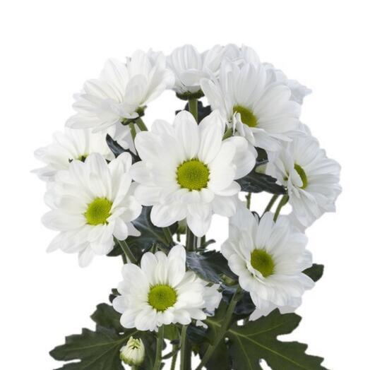 Кустовая ромашковая хризантема белая