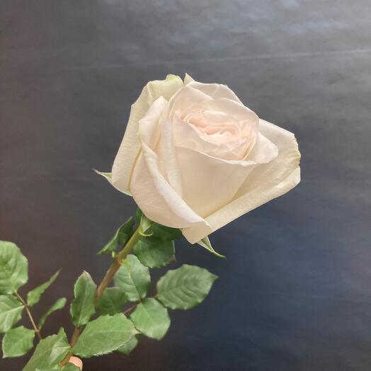 Пионовидная Роза сорта-Вайт Охара💞