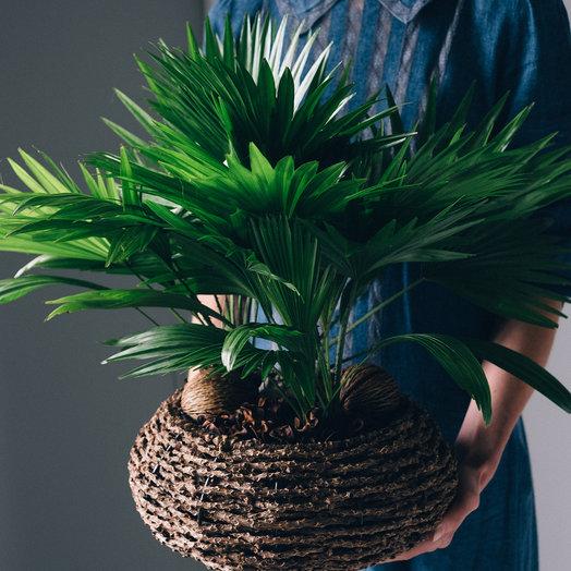 Пальма Ливинстона: букеты цветов на заказ Flowwow