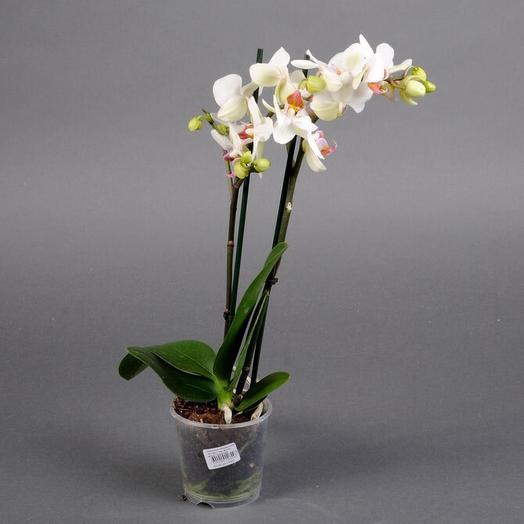 Фаленопсис Миди 2 ст: букеты цветов на заказ Flowwow