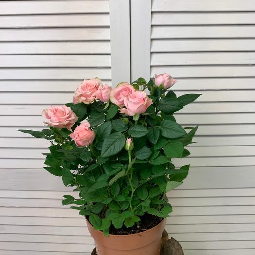 Роза Палас