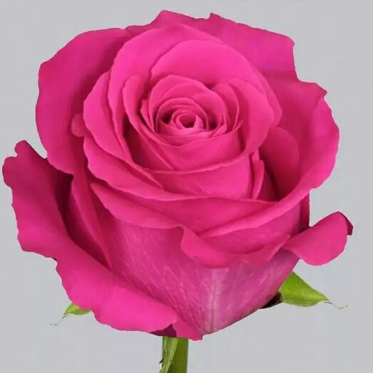 Pink Floyd Rose 70 cm