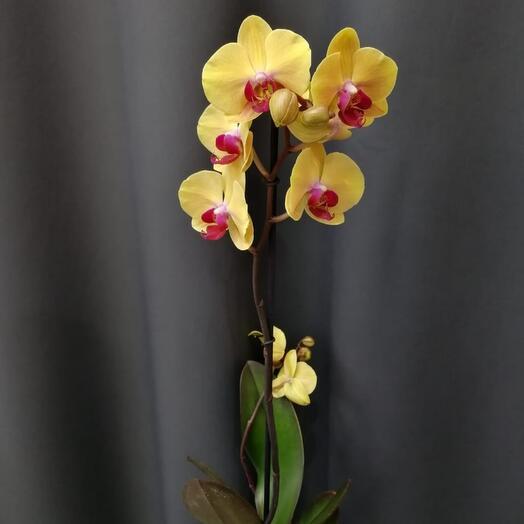 ✅ Орхидея 1th