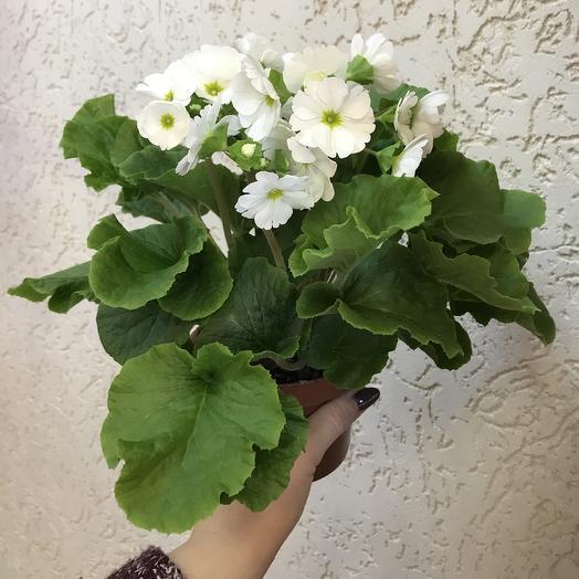 Примула: букеты цветов на заказ Flowwow