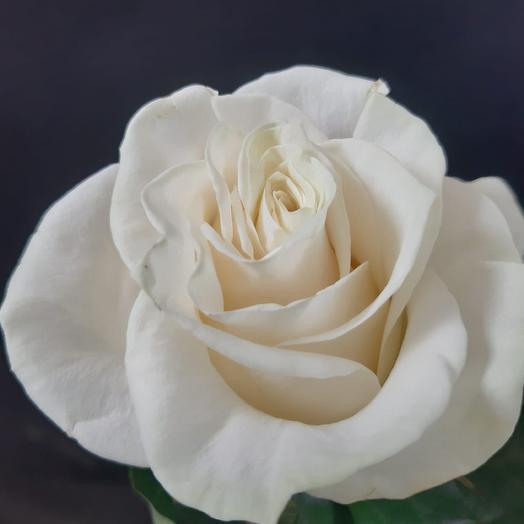Роза Эквадор «Мондиаль»