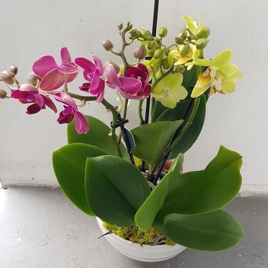 Мини орхидеи в керамическом кашпо