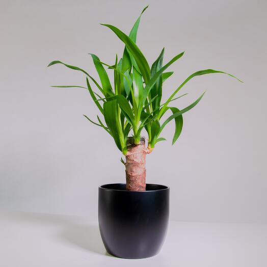 """Растение """"Юкка штамбовая"""" пересаженное в Чёрный горшок"""