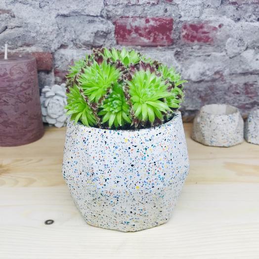 Кашпо из бетона с суккулентом (семпервивум): букеты цветов на заказ Flowwow
