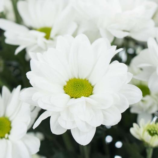 Хризантема белая Бакарди