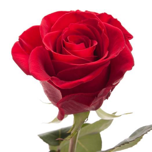 Роза фридом 60см
