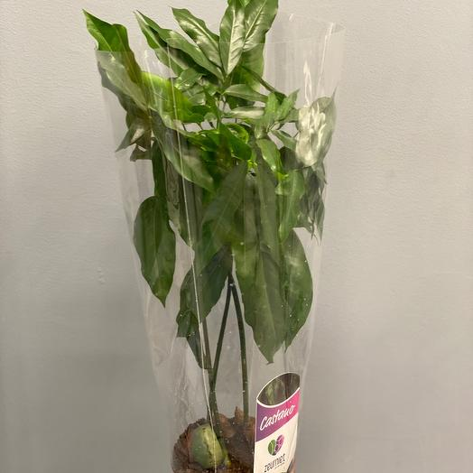 Комнатное растение Домашний каштан 60 см