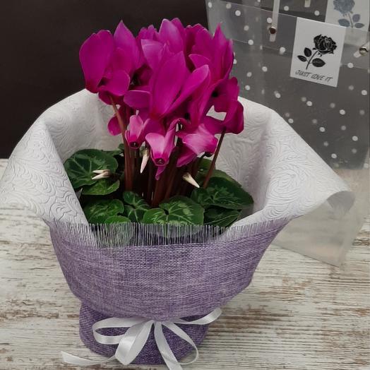 Комнатное растение Циклосен цвет фуксия
