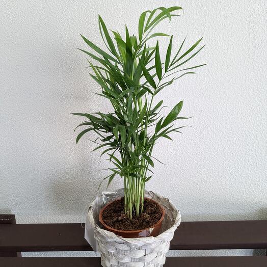 """Комнатное растение""""Хамедорея"""""""