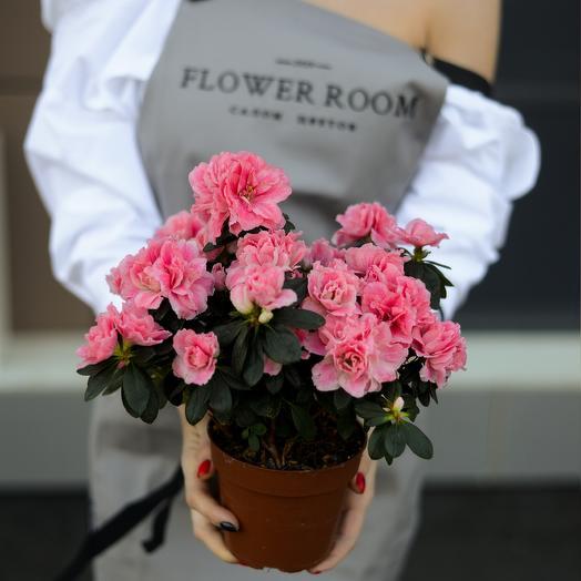 Цветущая Азалия: букеты цветов на заказ Flowwow