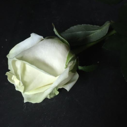 Роза Белая. Нежность в каждом лепестке