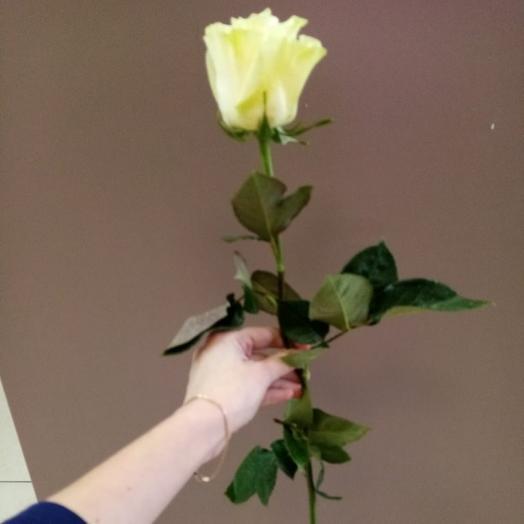 Роза Мондиаль,70 см