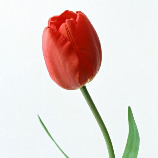 Тюльпан ярко-розовый