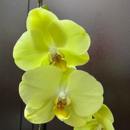 Орхидея фаленопсис! Отцвела