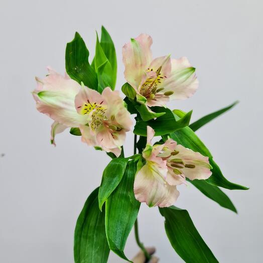 Альстромерия бело-персиковая