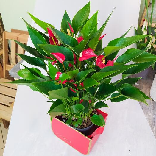 Multicolored anthurium in a red box