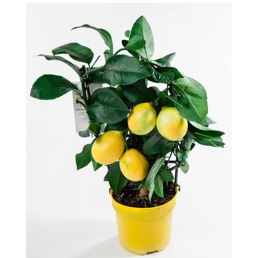 Лимон 30 см: букеты цветов на заказ Flowwow