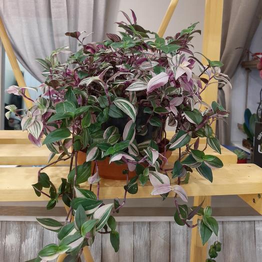 Традесканция: букеты цветов на заказ Flowwow