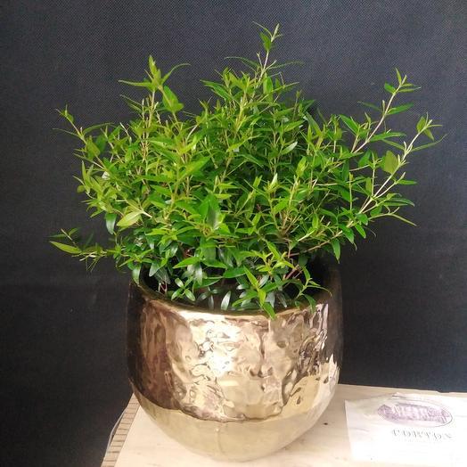 """Растение """"Миртовое дерево"""": букеты цветов на заказ Flowwow"""