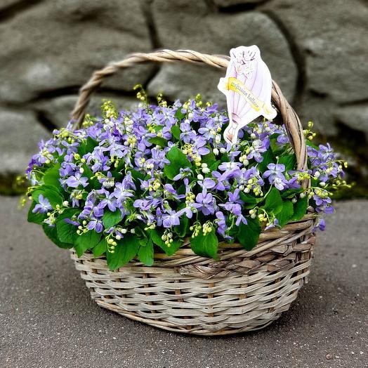Лесная фиалка: букеты цветов на заказ Flowwow