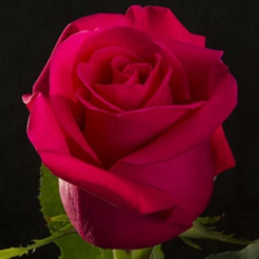 Роза Хот Эксплоер