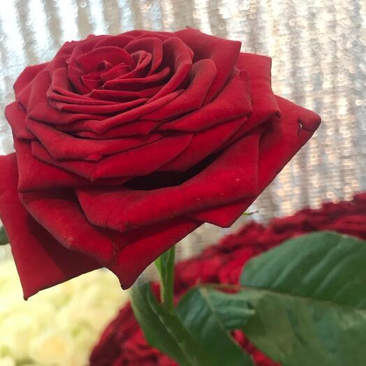 Роза гран-при 80 см