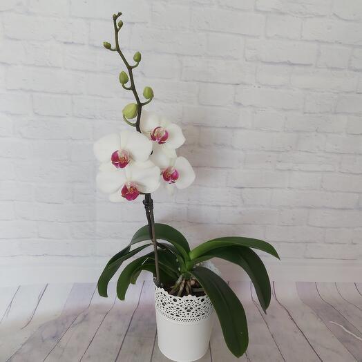 Орхидея в металлическом кашпо