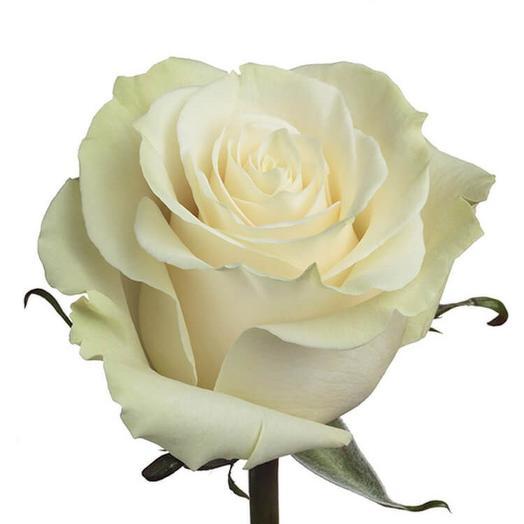 Белая эквадорская роза 50 см