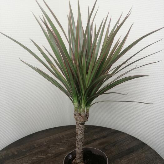 Комнатное растение, Драцена биколор
