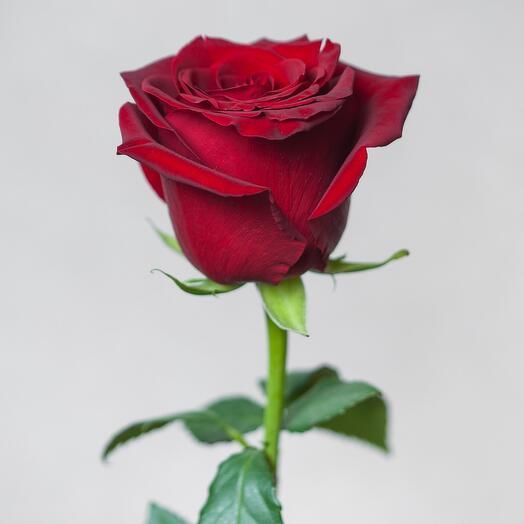 70см Эквадорская роза Эксплорер