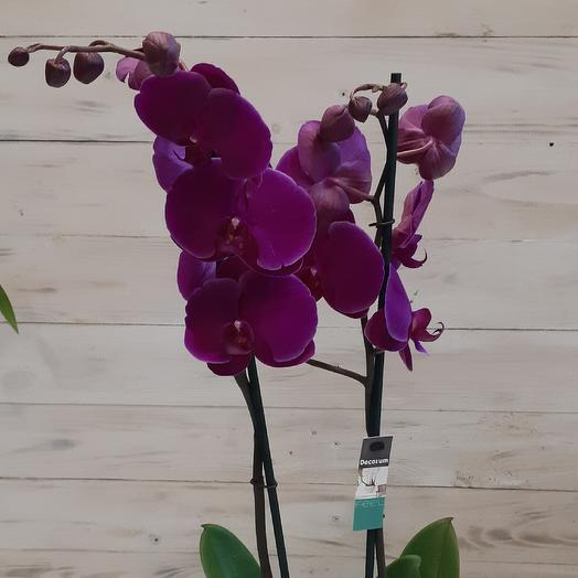 Коллекционная орхидея фаленопсис 2 ствола: букеты цветов на заказ Flowwow