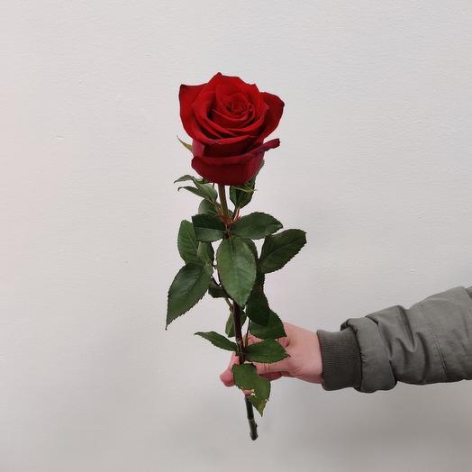 Роза эквадорская 70см