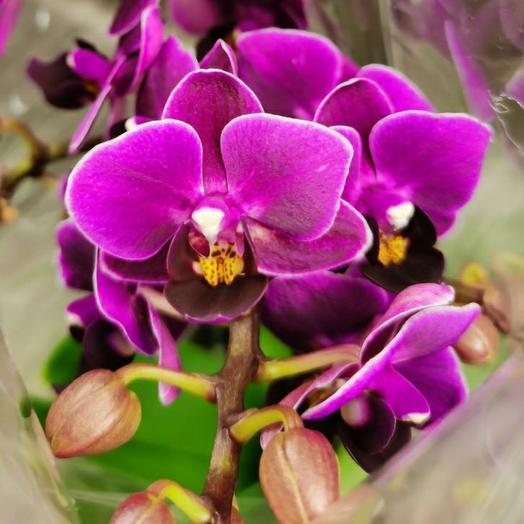 Орхидея Emma Piemonte