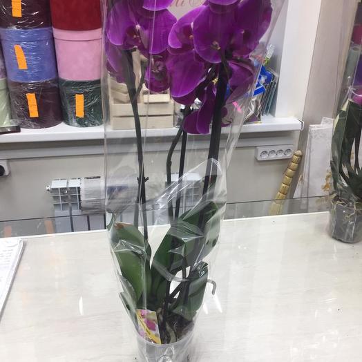 Орхидея в горшке