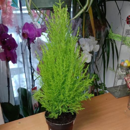 Комнатное растение Купрессус Голдкрест Вилма